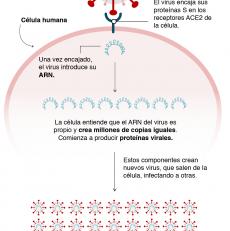 Inmunidad Cruzada, la clave contra el Coronavirus.